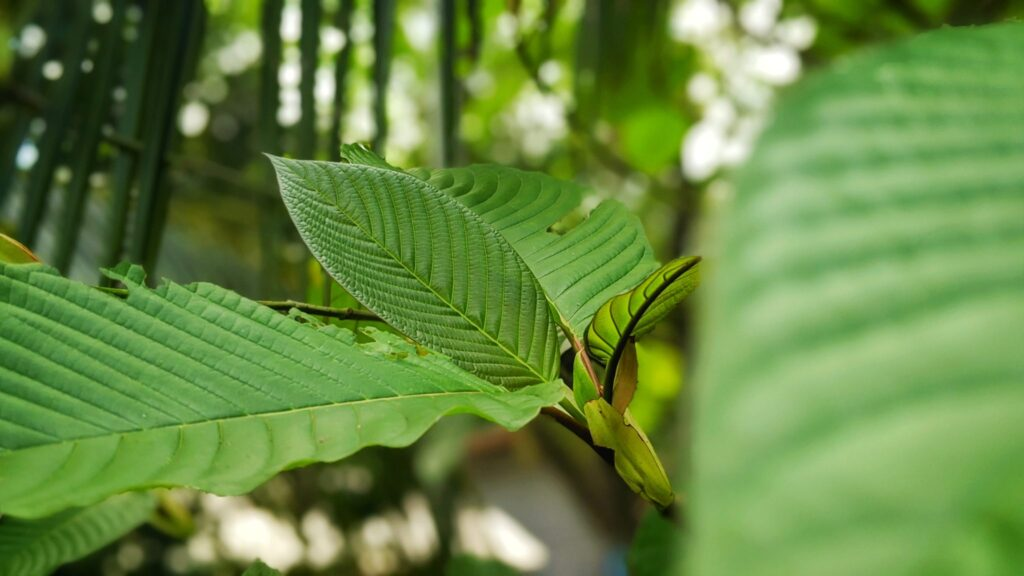 What Research Has to Say About Kratom Side Effects?